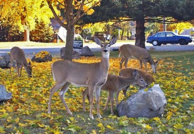 Deer in Grand Forks