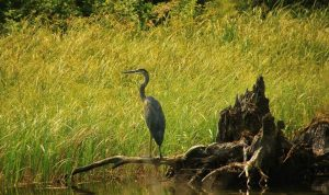 Heron_Griffin Lake