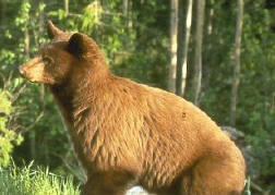 Cinnamon coloured black bear. Photo credit Parks Canada