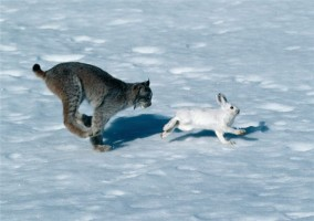 Lynx jumping