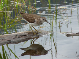 Solitary Sandpiper (Burton Creek - July 1, 2011)