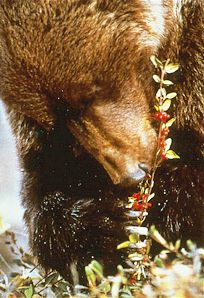 Bears eat a lot of berries through the summer and fall to put on the necessary weight to survive hibernation.  Parks Canada Collection.