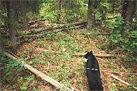 A motion sensing camera catches this black bear passing under a perimeter of barbed wire set out to snag hair samples for DNA analysis. Parks Canada Collection.