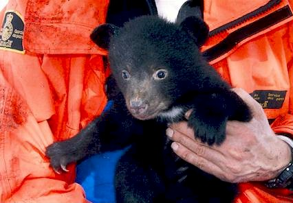 This black bear cub was part of the Upper Columbia Bear Research Project's examination of bear population changes. Parks Canada / UCBRP photo
