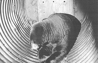 The outcome is seldom good for problem bears captured in a culvert trap. Parks Canada, Mas Matsushita photo.