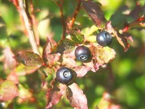 Huckleberries are a choice bear food. Michael Morris photo