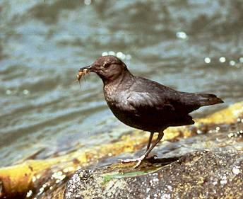 Dipper & Stonefly Photo Credit: James Sanford - Cornell Lab of Ornithology