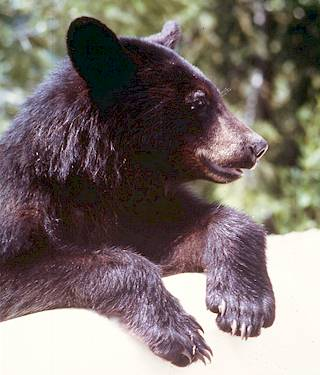 Black bears have short curved claws well suited for climbing trees. Parks Canada Collection.