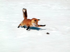 fox prey