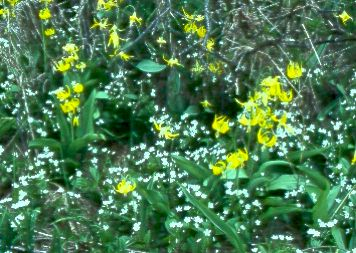 The bulbs of Glacier Lilies and Spring Beauties are a favourite food of grizzlies.