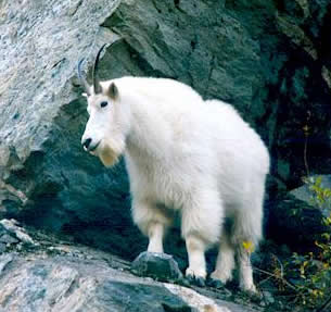 Mountain Goat, Mike Tomlinson photo