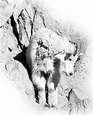 Mountain Goat, Parks Canada photo