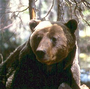 Grizzly bears have a dish-shaped head and small ears relative to the size of their head.  Parks Canada Collection.