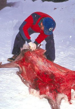 Wildlife biologists try to determine the cause of death of caribou when possible. Note the lack of fat reserve on this animal. Bob Brade photo.