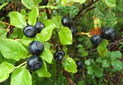 Huckleberries, a favourite late-summer food Photo credit Jackie Morris