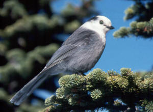 Gray jay, John Woods photo.