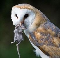 owl predation