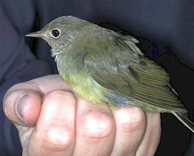 Connecticut Warbler, Revelstoke BC, Sept 2001