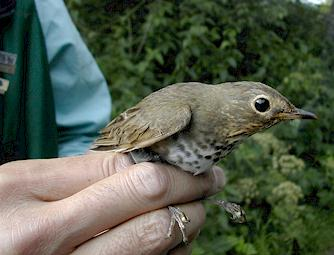 Swainson's Thrush at bird banding station in Mount Revelstoke National Park. Michael Morris / Parks Canada photo