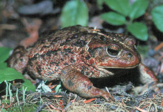Western Toad, Wayne Lynch / Parks Canada photo