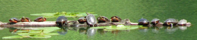 turtle-basking-smaller