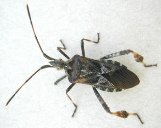 A Western Conifer Seed Bug, also known as a stinkbug, use odour to discourage predators. Michael Morris photo.