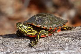 western-painted-turtle