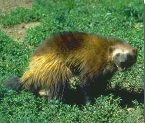 Wolverine - Parks Canada photo