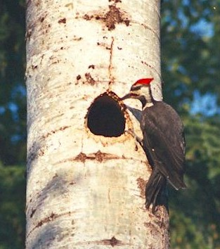 Female Pileated Woodpecker at nest hole on the lower slopes of Mount Revelstoke.  Photo credit - Michael Morris